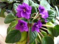 фото карелия цветок