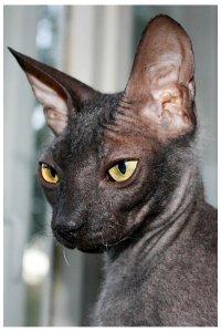 Кот сфинкс нижний новгород