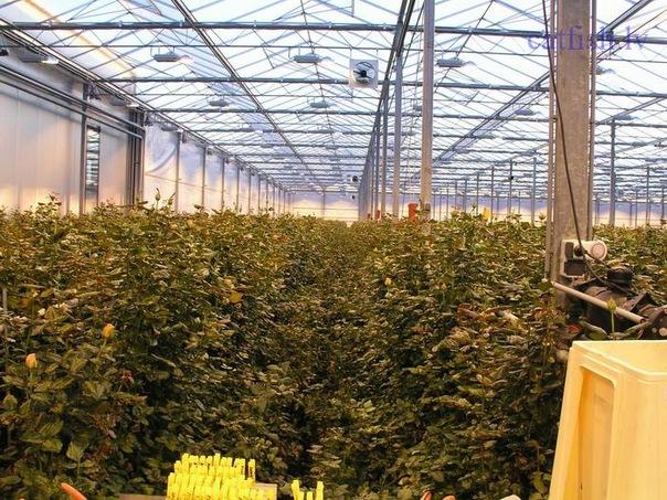 Розы сясьстрой новая голландия купить комнатные цветы купить интернет магазин