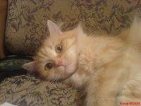 Кошка Сима