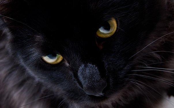 Котята мэйкун в Москве. черная кошечка.