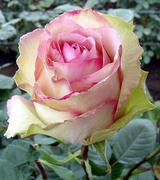 купить в красноярске плетистые розы.