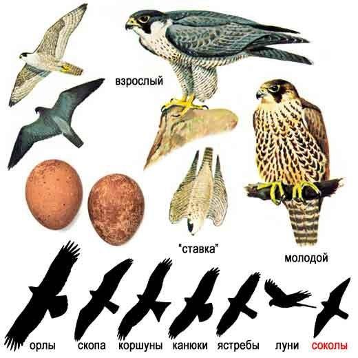 Это фото вы найдете в каталоге: горная птица, показать