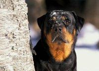 Ротвейлер Rottweiler.  МКФ: 2 группа FCI.
