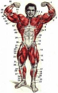 Связка трехглаво мышцы.  Бодибилдинг анатомия, фото бодибилдинга, строение мышц человека в картинках.