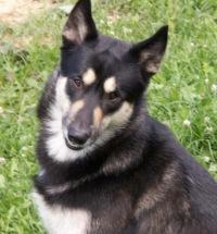 Восточносибирская лайка - русская порода собак .