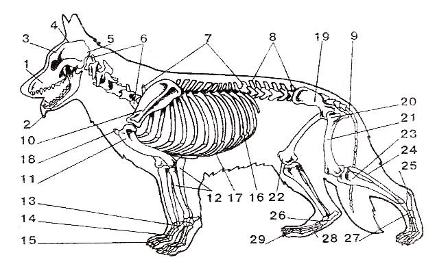 немецкая овчарка тазобедренный сустав лечение