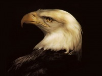Обои, Орел, Хищник, Птица, Голова орла...