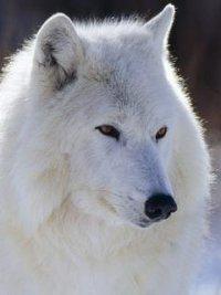 Картинка White Wolf на iPhone и iPod бесплатно.