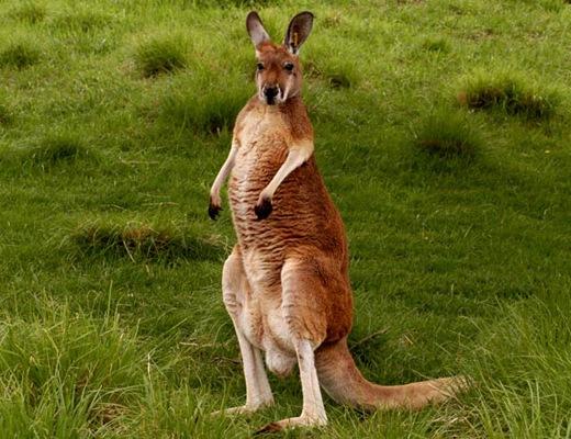 А однажды у кенгуру были зафиксированы прыжки длиной 13,5 метра.