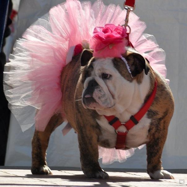 Прикольная картинка собака в бантиках