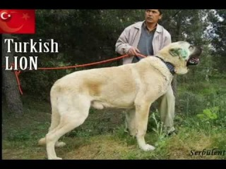 Der Grösste Hund auf der Welt (Turkish Kangal)(THE BIGGEST DOG OF THE WORLD)