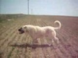 Kurdish KANGAL vs.American Pitbull Terrier Dog Fight 2008