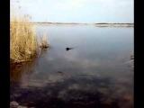 Ягдтерьер Арам (Jagdterrier Aram) http://yagd.jimdo.com/ Поноска в воде