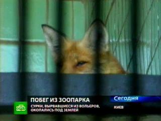 Лисица, дикобразы и сурки сбежали из зоопарка | Новости НТВ | Телекомпания НТВ. Официальный сайт