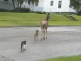 Олениха напинала кошек и собаке