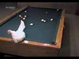 hatem.roomforum.com الدجاجه أفضل لاعب بلياردو عالميا