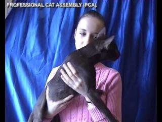Ориентальный кот на выставке кошек PCA