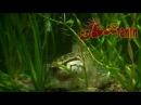 Змееголов. Snakehead. (HD)