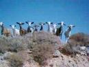 Goat call Chios - Katsiki classic