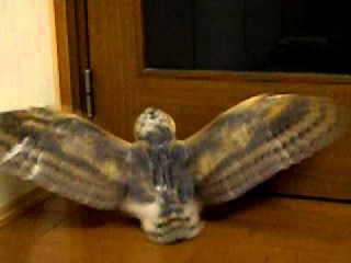 Маленькая сова сипуха машет крылышками,МИЛАХА!:)