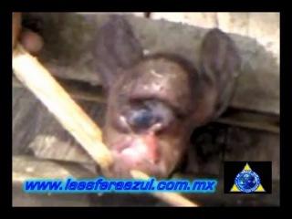 Одноглазый гуманоид найден в Мексике 7 июня 2011