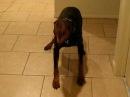 Doberman with a semi attack bark