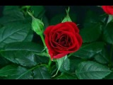 La rose rouge, celle de l'amour (prise sur un peer to peer)