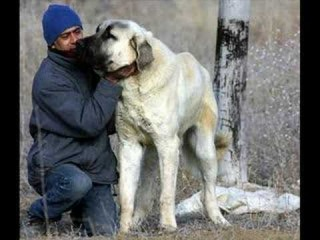KANGAL vs.English MASTIFF Dog Fight