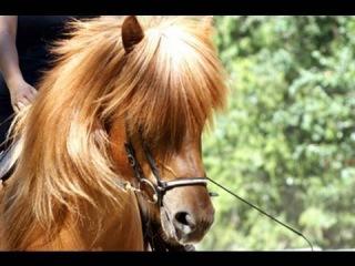 Icelandic Horses -Tolt Away Farm Breed Demonstrations Enderby