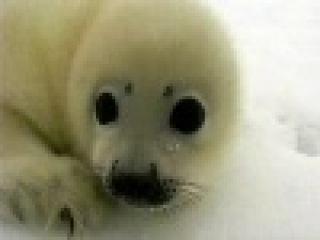 В России отныне полностью запрещена охота на детенышей гренландского тюленя - Первый канал