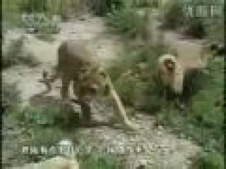 Турецкий кангал(самая сильная собака в мире) пасет львов