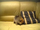 Шпиц померанский карликовый - щенки