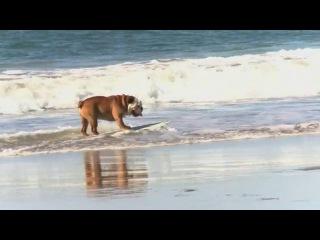 Собака катается на сёрфе, сноуборде, скейте )
