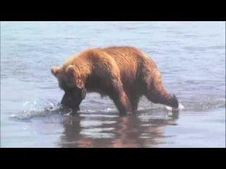 Kamchatka Bear Catching Fish.m4v
