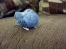 Parrotlets preening each other