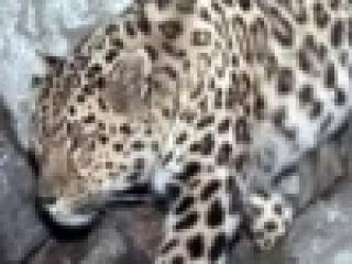 Неизвестные прежде подробности из жизни леопардов удалось узнать учёным в Приморском крае - Первый канал
