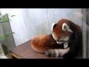 レッサーパンダの授乳 Nursing a baby of red panda.