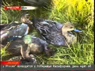 ТРК Прима-ТВ : Гибель уток в Красноярске : ФВ