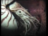 Exotica & Erotica of the Deep - Chambered Nautilus Remote Penis