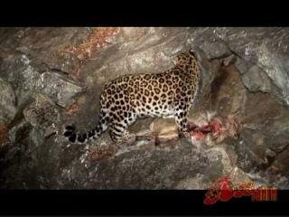 Дальневосточный Леопард. Уберечь каждого. Их осталось не больше 40