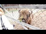 Oksky State Nature Biosphere Reserve - Bison bonasus