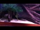 Corydoras sterbai/panda, L 200 Green pleco, Ancistrus sp. Super red,Satanoperca leucosticta .MOV