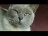 Британский говорящий кот