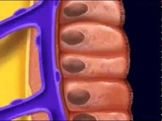 Строение кишечника..mp4