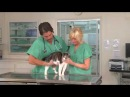 Feline Lower Urinary Tract Disease FLUTD - VetVid Episode 008