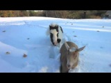 Einstein Herds Goats In Snow