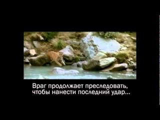 Мощное видео, в ответ на британскую соц рекламу, где медведю русскому, капканов понаставили на