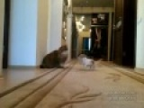 Маленькая собачка и большой кот