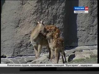 В Ижевском зоопарке родился пятнистый олень